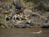 Thomson's Gazelles Walk Along a Rocky River Bank While Another Swims Photographic Print by Norbert Rosing