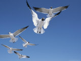 Laughing Gulls in Flight Photographic Print by John Eastcott & Yva Momatiuk