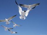 Laughing Gulls in Flight Photographic Print by John Eastcott & Yva Momatiuk