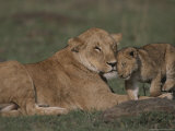 Three-Month Old African Lion Cub Affectionately Nuzzles Its Mother Photographic Print by John Eastcott & Yva Momatiuk