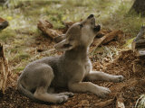Ten-Week-Old Gray Wolf Pup, Canis Lupus, Howls Photographie par Jim And Jamie Dutcher