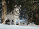 Portrait of an Alpha Male Gray Wolf, Canis Lupus, at Forest's Edge Fotoprint van Jim And Jamie Dutcher