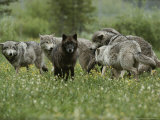 Group of Gray Wolves, Canis Lupus, Mill About in a Mountain Meadow Photographic Print by Jim And Jamie Dutcher