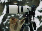 Curious Japanese Macaque, or Snow Monkey, Examines a Camera Photographic Print by Tim Laman