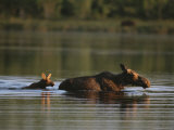 Female Moose and Her Calf in a Maine Lake Photographic Print by Roy Toft