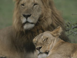 African Lion and Lioness Photographic Print by John Eastcott & Yva Momatiuk