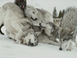 Pack of Gray Wolves, Canis Lupus, Frolic in a Snowy Landscape Fotografisk tryk af Jim And Jamie Dutcher