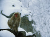 Japanese Macaque, or Snow Monkey, in a Snowy Landscape Photographic Print by Tim Laman