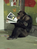 Captive Chimpanzee Looks Through a Magazine Fotografie-Druck von Steve Winter