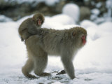 Young Japanese Macaque, or Snow Monkey, Rides on Its Mother's Back Fotografisk trykk av Tim Laman