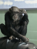Captive Chimpanzee Scratches Its Head Photographic Print by Steve Winter