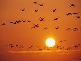 Birds in Flight Against Sunset Sky, Wattenmeer National Park, Germany Fotografisk tryk af Norbert Rosing