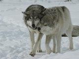 Two Gray Wolves, Canis Lupus, Pal Around in a Snowy Landscape Reproduction photographique par Jim And Jamie Dutcher
