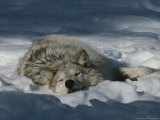 Gray Wolf, Canis Lupus, Takes a Nap in a Snowy Bed Fotoprint van Jim And Jamie Dutcher