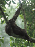 Female Chimpanzee Clings to a Branch Photographic Print by Michael Nichols