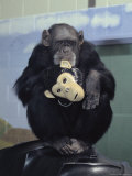 Captive Chimpanzee Holds a Chimp Mask Photographic Print by Steve Winter