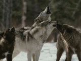 Pack of Gray Wolves, Canis Lupus, Howl Photographie par Jim And Jamie Dutcher