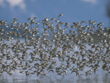Flock of Western Sandpipers in Flight Photographic Print by John Eastcott & Yva Momatiuk