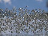 Flock of Western Sandpipers in Flight Photographic Print by John Eastcott & Yva Momatiuk