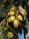 Cluster of Ripe Coconuts Hanging From a Palm Tree Photographic Print by Richard Nowitz