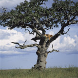 Lion Sleeps in the High Branches of a Tree Photographic Print by David Pluth