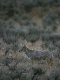 Coyote in a Field Dotted with Shrubs Photographic Print by Michael Melford