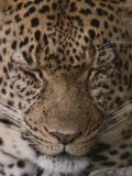 Close View of a Sleeping Leopard Photographie par John Eastcott & Yva Momatiuk