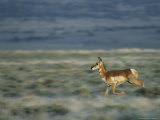 Pronghorn Running Through an Arid Landscape Photographic Print by Phil Schermeister