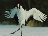 Japanese or Red-Crowned Crane Displays Itself Photographic Print by Tim Laman