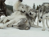 Group of Gray Wolves, Canis Lupus, Rally Together Fotoprint van Jim And Jamie Dutcher