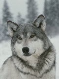 Portrait of a Beautiful Gray Wolf, Canis Lupus, in the Snow Fotoprint van Jim And Jamie Dutcher