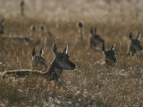 Herd of Pronghorn Antelope at Rest in a Grassy Field Photographic Print by Michael Melford