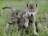 Eight-Week-Old Gray Wolf Pups, Canis Lupus, Spar with Each Other Photographic Print by Jim And Jamie Dutcher