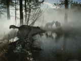 Group of Gray Wolves, Canis Lupus, Pass By a Foggy Pond in a Forest Photographic Print by Jim And Jamie Dutcher