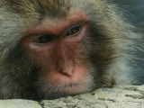 Face of a Japanese Macaque, or Snow Monkey, Soaking in a Hot Spring Photographic Print by Tim Laman