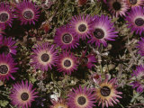 Close View of Livingstone Daisies Photographic Print by Jonathan Blair