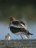 An American Avocet and Her Chick Photographic Print by Roy Toft