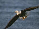 Bald Eagle Catches Fish Photographic Print by John Eastcott & Yva Momatiuk