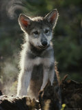 Portrait of a Seven-Week-Old Gray Wolf Pup, Canis Lupus Photographic Print by Jim And Jamie Dutcher