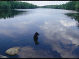 Black Lab Named Blackie Sits in a Woodland Lake Photographic Print by Bill Curtsinger