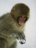 Young Japanese Macaque or Snow Monkey Plays with a Handful of Snow Photographic Print by Tim Laman