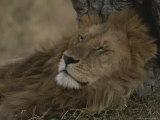 African Lion, Adult Male with Full Mane, Sleeping Photographic Print by John Eastcott & Yva Momatiuk