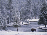 An American Bison Alongside a River in a Snowy Yellowstone Forest Photographic Print by Michael Melford