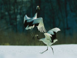 Japanese or Red-Crowned Cranes Engage in a Courtship Display Photographic Print by Tim Laman