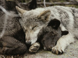 Two Five-Month-Old Gray Wolf, Canis Lupus, Pups Nap Together Photographic Print by Jim And Jamie Dutcher