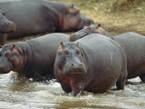 Group of Hippopotamuses Wades in Water Photographic Print by Norbert Rosing