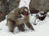 Japanese Macaque, or Snow Monkey, Forages For Food in the Snow Photographic Print by Tim Laman