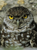 Portrait of a Burrowing Owl Photographic Print by Roy Toft