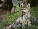 An 8-Week-Old Gray Wolf Pup, Canis Lupus, Bares His Teeth in a Snarl Photographic Print by Jim And Jamie Dutcher