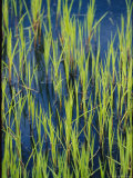 Close View of Water Grasses Growing in Erie National Wildlife Refuge Photographic Print by Skip Brown